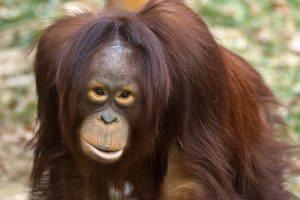 הכלאות בין קופים לבני-אדם על פי איליה איוואנוביץ' איוואנוב   אוֹרַנְגְּאוּטָן   צילום: ויקיפדיה.
