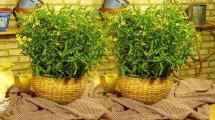 משתלות חישתיל משיקים צמחי תבלין חדשים; טרגון אניס לוסי ואורגנו צ'יליאנו