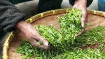 ערבים משתמשים בצמחי מרפא ורפואה מסורתית
