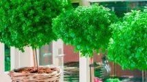 עץ הבזיל | צילום: חישתיל