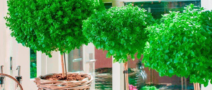 """עץ הבזיל   צילום: תאגיד משתלות """"חישתיל"""""""