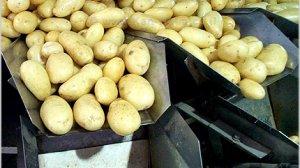 """תפוחי אדמה - מועצת הצמחים לרגל ל""""ג בעומר: עלייה של 50% בצריכה של טון תפוחי אדמה"""
