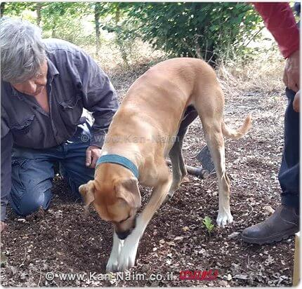 לצורך איתור הכמהין נעשה שימוש בכלבים המאומנים במיוחד לתפקיד זה באמצעות חוש הריח