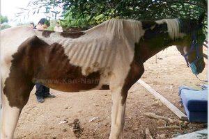 משרד החקלאות, עיריית רמת-גן והמשטרה פינו חוות סוסים