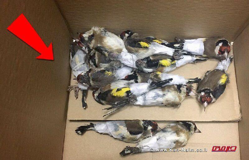 100 ציפורי שיר מזן חוחיות שניסו להבריח לשטחי הרשות מירדן | צילום: משרד החקלאות