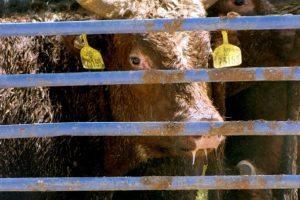 הובלת עגלים אוסטרליים | צילום: עמותת אנונימוס לזכויות בעלי חיים