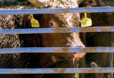 הובלת עגלים אוסטרליים   צילום: עמותת אנונימוס לזכויות בעלי חיים