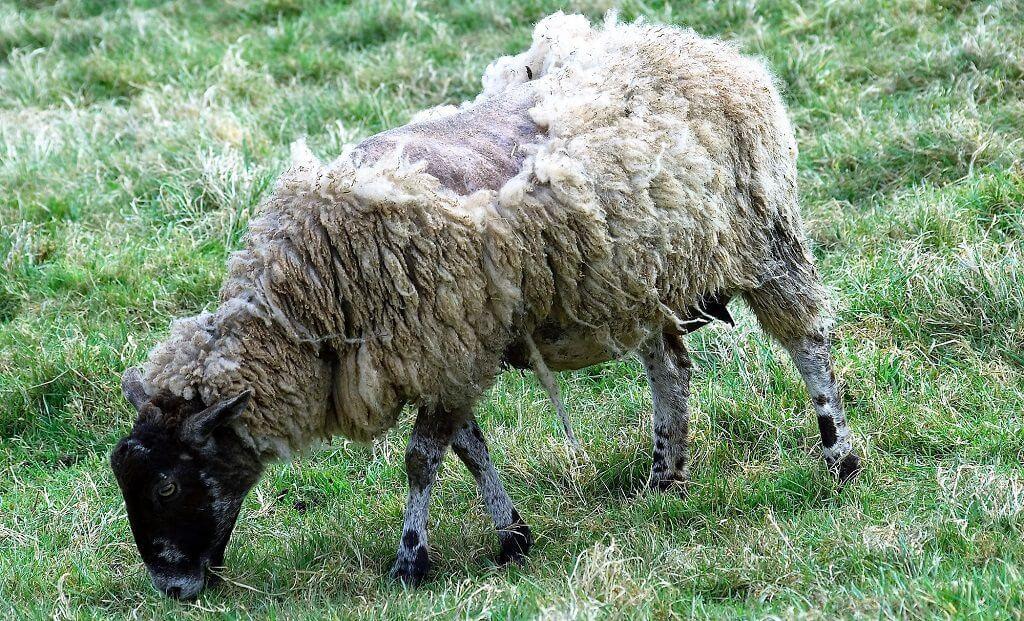 מחלת הפה והטלפיים המחלה התפרצה גם בעדרי צאן| עיבוד צילום: שולי סונגו©
