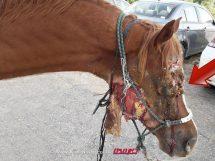 אור יהודה חשוכה: חיות אדם התעללו בסוס וריסקו חצי מפניו | צילום:צביה מילדנברג, משרד החקלאות