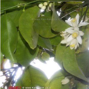 אביב הגיע פסח בא   פריחת לימון   צילום: ראובן אורן ©