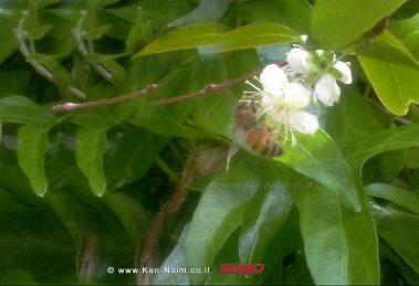 פריחת הפיטנגו | אביב הגיע פסח בא | צילום: ראובן אורן ©