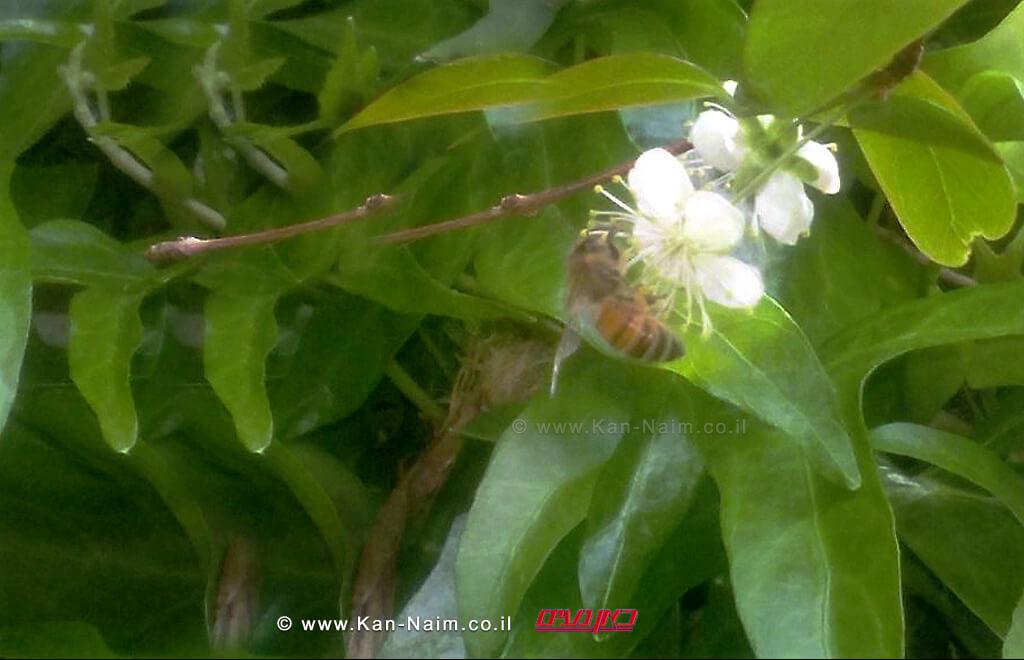 פריחת הפיטנגו   אביב הגיע פסח בא   צילום: ראובן אורן ©
