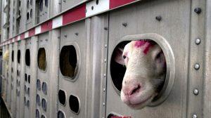 שר החקלאות הורה להפסיק שוב יבוא הבקר והצאן מרומניה לישראל  הובלת בקר וצאן באוניה