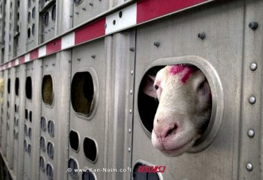 שר החקלאות הורה להפסיק שוב יבוא הבקר והצאן מרומניה לישראל |הובלת בקר וצאן באוניה