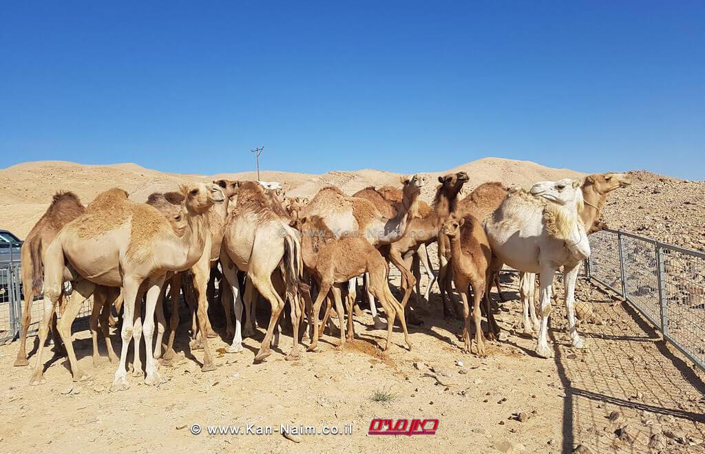 מפקחי היחידה המרכזית לחקירות של משרד החקלאותבתפיסת גמלים משוטטים בדרום | צילום: משרד החקלאות