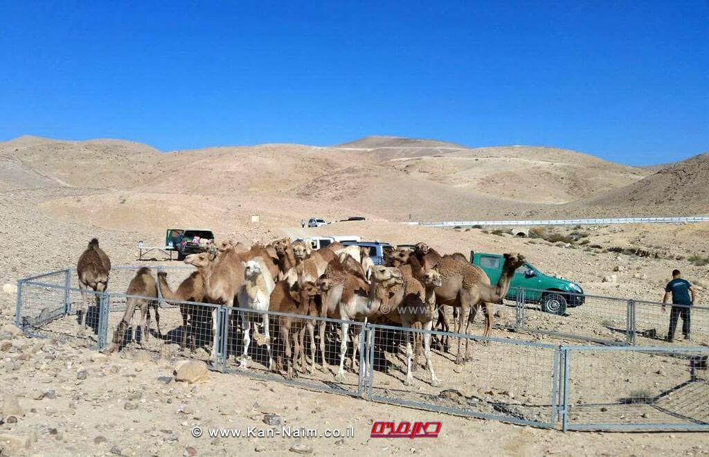 תחילת השנה תפסו מפקחי משרד החקלאות באזור הדרום למעלה מ- 200 גמלים | צילום: משרד החקלאות
