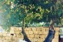 עץ התאנה הקשיש ב'אחוזת דוברובין' | צילום: יעל שביט