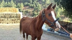 סוס רזה במיוחד, שסבל מהתעללות והזנחה במושב שפר בצפון הארץ |צילום:יובל הדני, משרד החקלאות