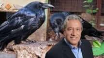 ראש עיריית אילת מר מאיר יצחק הלוי ברקע עורבים | עיבוד צילום: שולי סונגו ©