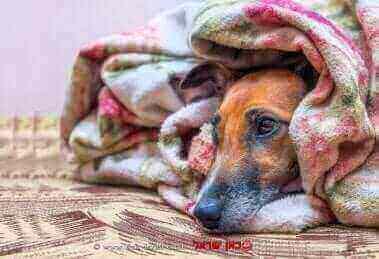 כלב מכוסה היטב בשמיכה בשל גל הקור | עיבוד: שולי סונגו ©