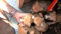 כלבת פיטבול וגוריה