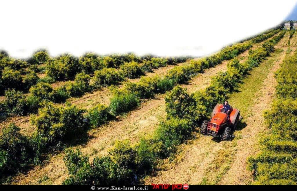 חקלאי עם טרקטור במטעי אבוקדו | צילום: חגי נתיב | עיבוד צילום: שולי סונגו
