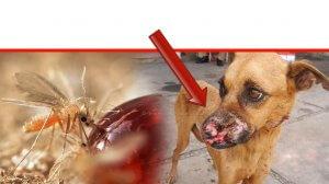כלב נגוע ב'טפיל הלישמניה אינפנטום' משמאל זבוב חול הניזון מטיפת סוכר | עיבוד צילום: שולי סונגו