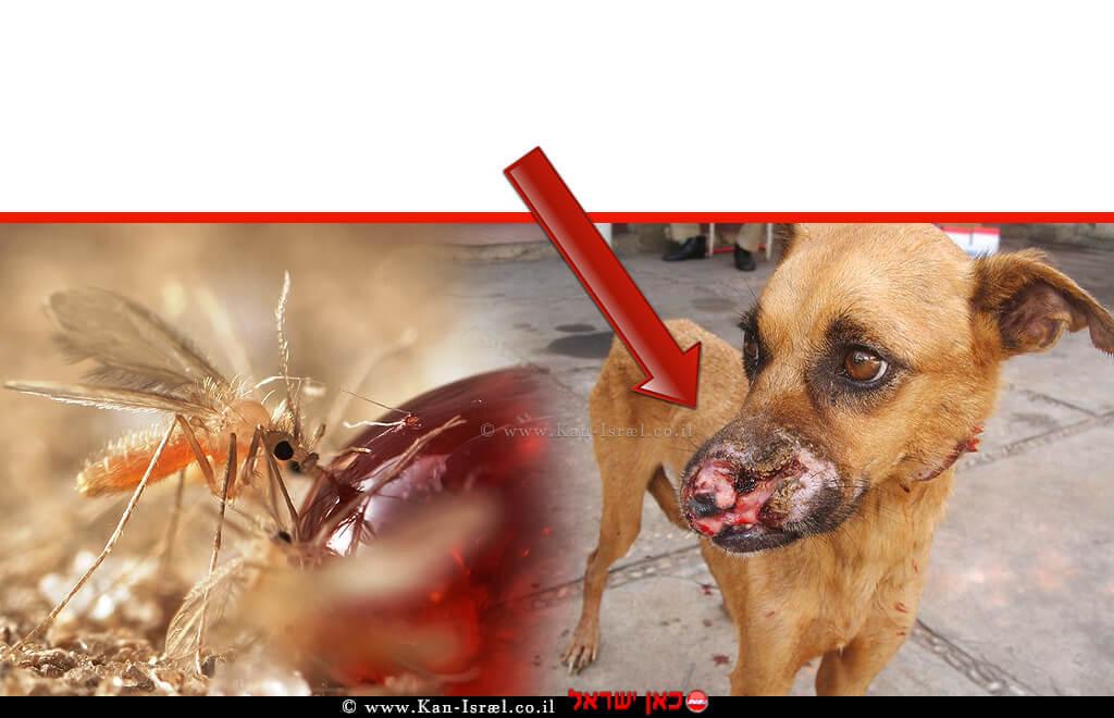 כלב נגוע ב'טפיל הלישמניה אינפנטום' משמאל: זבוב חול הניזון מטיפת סוכר   צילום: אלון בר   עיבוד צילום: שולי סונגו