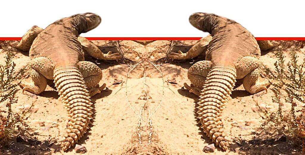 חרדון הצב המצוי | צילום: אריק ויינשטיין, הערבה התיכונה | עיבוד צילום: שולי סונגו ©