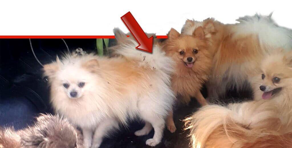 6 כלבי פומרניאן שהוחזקו במצב קשה במושב עַלְמָה | צילום: דוברות המשטרה | עיבוד צילום ממחושב: שולי סונגו©