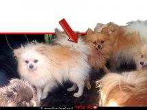 6 כלבי פומרניאן שהוחזקו במצב קשה במושב עַלְמָה   צילום: דוברות המשטרה   עיבוד צילום ממחושב: שולי סונגו©