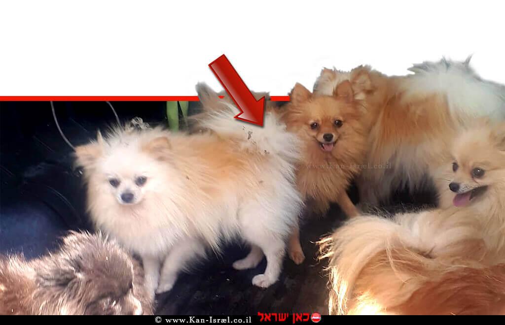 5 מתוך 6 כלבי פומרניאן שהוחזקו במצב קשה במושב עַלְמָה | צילום: דוברות המשטרה | עיבוד צילום ממחושב: שולי סונגו©