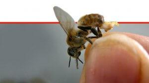 מחזיק דבורה בקצות אצבעותיו | עיבוד צילום ממחושב: שולי סונגו©