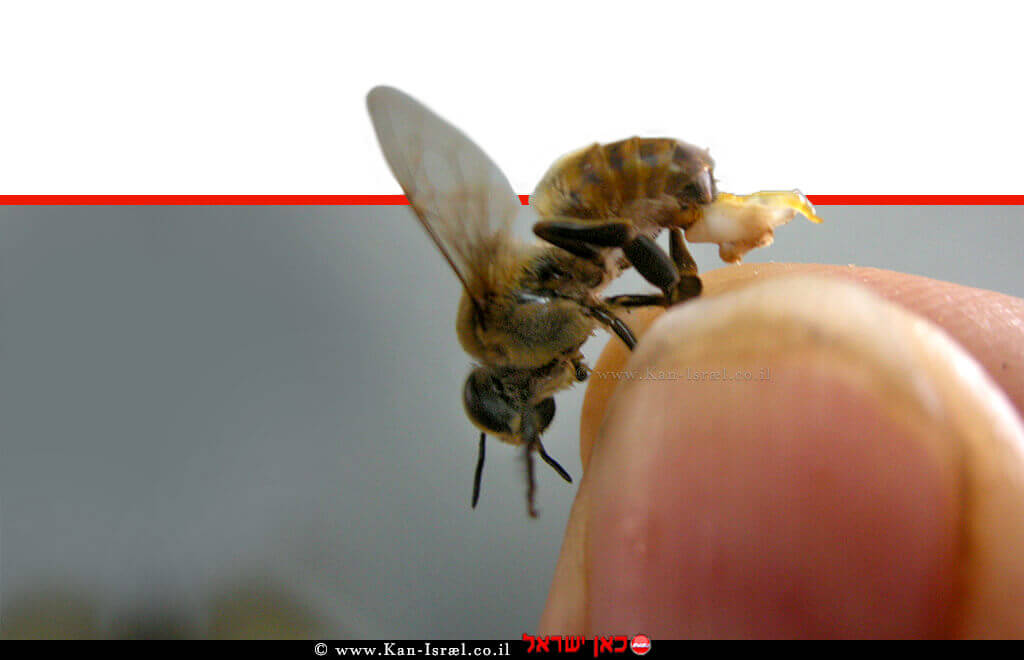 מחזיק דבורה בקצות אצבעותיו   עיבוד צילום ממחושב: שולי סונגו©