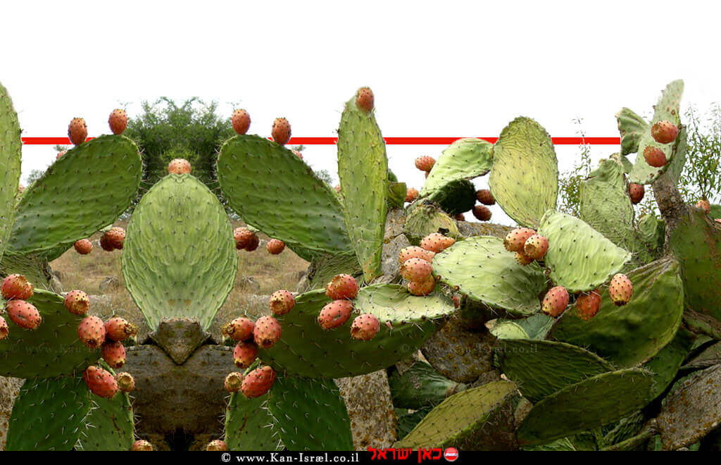צַבָּר מָצוּי (שם מדעי; Opuntia ficus-indica) | סברס | צילום: ויקיפדיה | עיבוד צילום ממחושב: שולי סונגו©