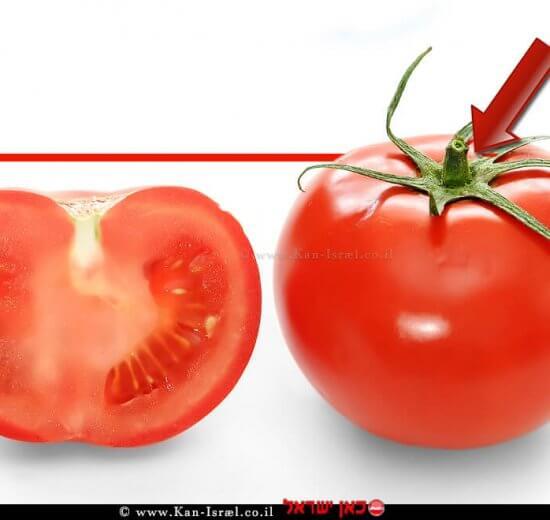 עגבנייה ישראלית   צילום מתוך ויקיפדיה   עיבוד ממחושב: שולי סונגו©