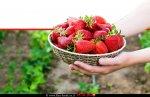 תותי שדה | צילום: depositphotos | עיבוד ממחושב: שולי סונגו©