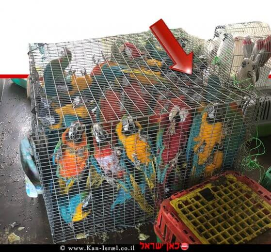תוּכים שנגנבו מבית גידול בעיר מגדל העמק במשאית שנתפסה על ידי שוטרי משמר הגבול של משטרת ישראל  צילום: דוברות המשטרה