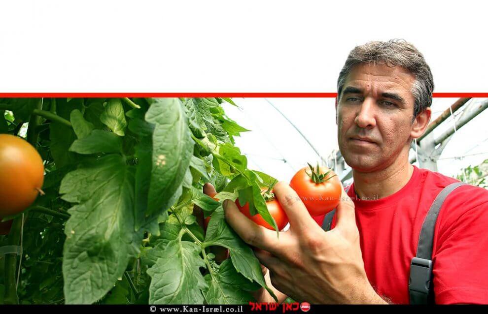חקלאי עם עגבניות   עיבוד צילום ממחושב: שולי סונגו©
