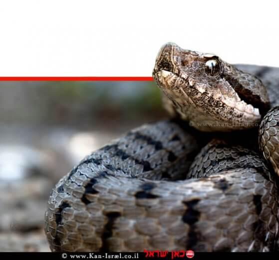 צפע מצוי, הואמיןשלנחש ארסיממשפחתהצפעיים | צילום: ויקיפדיה | עיבוד צילום: שולי סונגו ©