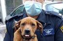 שוטר מתחנת חיפה מחלץ כלבה פצועה בזירת פשע, מהתעללות על ידי בעליה תושב חיפה | צילום: דוברות משטרה | עיבוד: שולי סונגו ©