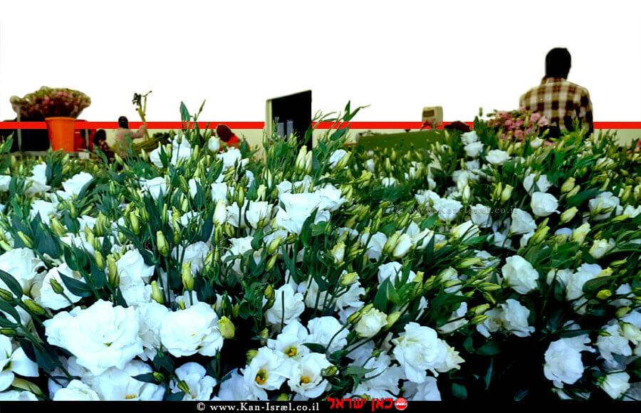 פרחי ליזיאנטוס נארזים בפארן ערבה תיכונה למשלוחי חג המולד | עיבוד צילום: שולי סונגו © צילום - מופ ערבה תיכונה וצפונית