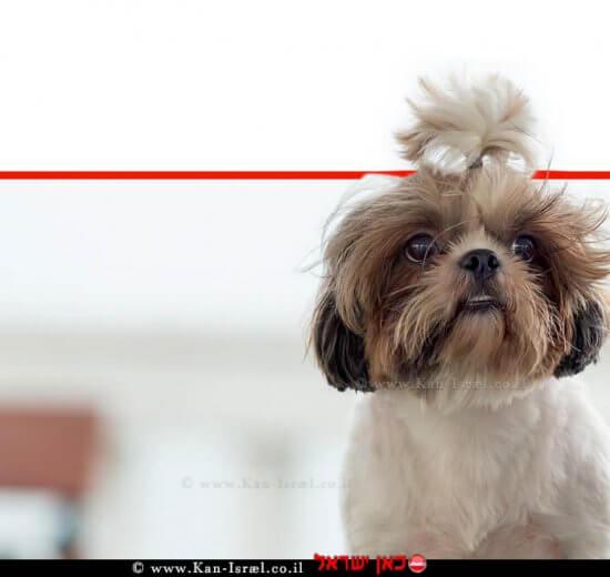 כלב גזעי שי טסו (Shih Tzu) בין הסוגים שנמצאו נגוּעים בחיידק ה'ברוצלה קאניס' | עיבוד צילום: שולי סונגו ©