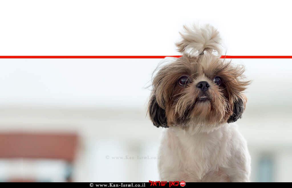 כלב גזעי שי טסו (Shih Tzu) בין הסוגים שנמצאו נגוּעים בחיידק ה'ברוצלה קאניס'   עיבוד צילום: שולי סונגו ©