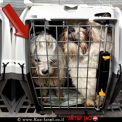 """כלבים גזעיים """"שי טסו"""" (Shih Tzu) שנשלחו מרוסיה לישראל נמצאו נגוּעים ב'ברוצלה מסוג קאניס'   עיבוד צילום: שולי סונגו ©"""