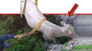 חילוץ פרה סמוך לעיר טבריה על ידי היחידה המרכזית לאכיפה וחקירות (פיצוח - פיקוח על הצומח והחי) של משרד החקלאות |צילום: יחידת הפיצוח במשרד החקלאות |עיבוד צילום: שולי סונגו ©