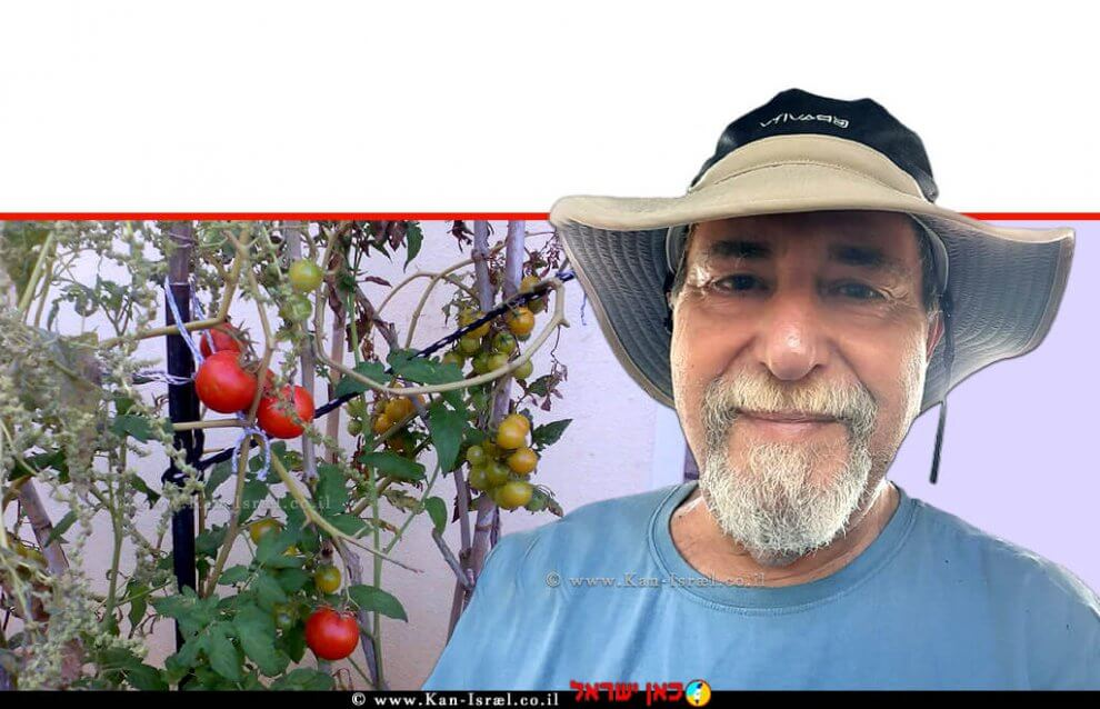 ראובן אורן מומחה לגינון אורגני ברקע: שתיל עגבניות מירקות קיץ ה-גינה ביתית אורגנית   צילום: ראובן אורן   עיבוד ממחושב: שולי סונגו©