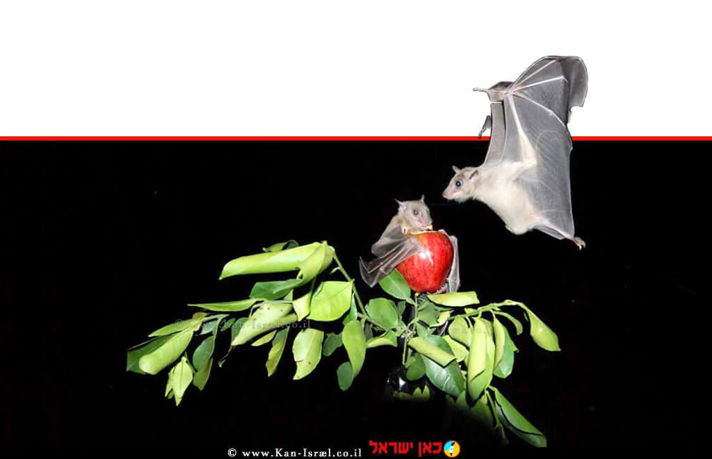 עטלף הפירות. חיית מודל לא שגרתית | צילום: מכון וייצמן למדע | עיבוד צילום: שולי סונגו ©